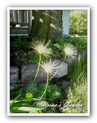 Pasque Flower - Pulsatilla patens (2)1