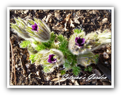 Pasque flower - Pulsatilla1