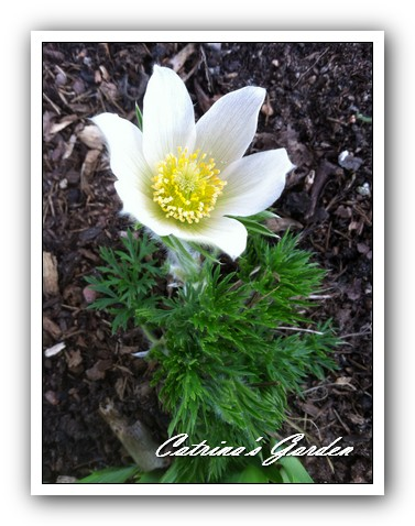 Pasque flower white (2)1
