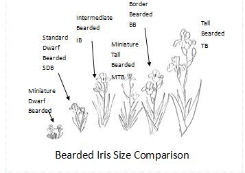 Bearded Iris Size Line Drawing
