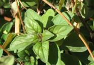 Oreganum tyttanthum