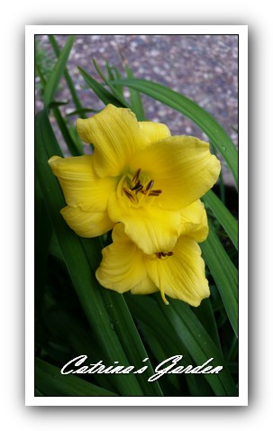 daylily-bitsy1