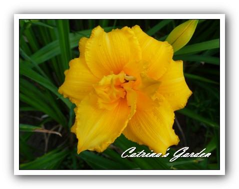 daylily-condilla1