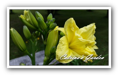 daylily-double-river-wye-21