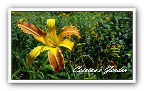 daylily-jean1