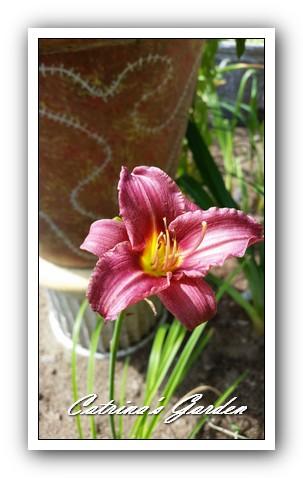 daylily-raspberry-pixie1