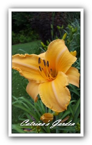 daylily-ruffled-apricot1